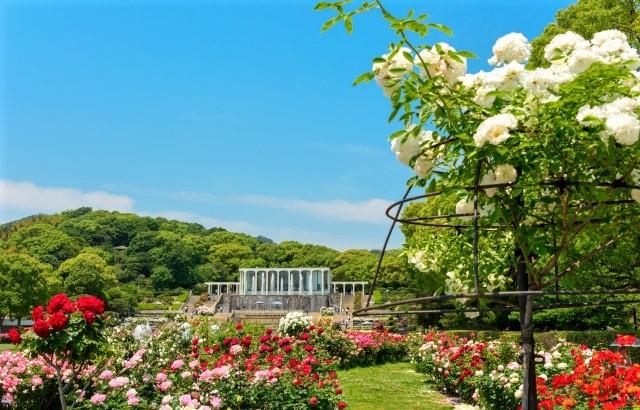 須磨離宮公園のバラ