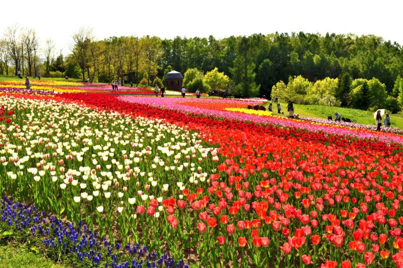滝野すずらん公園のチューリップの2021年の見頃や開花?アクセスや駐車場は?
