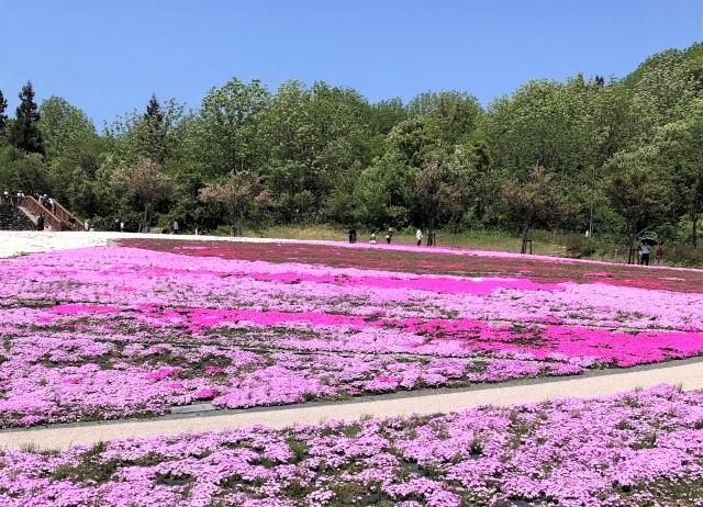 魚沼の芝桜