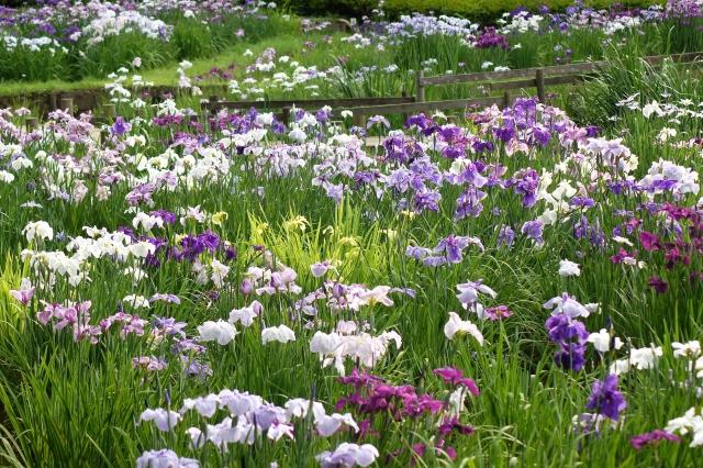 薬師池公園の花菖蒲