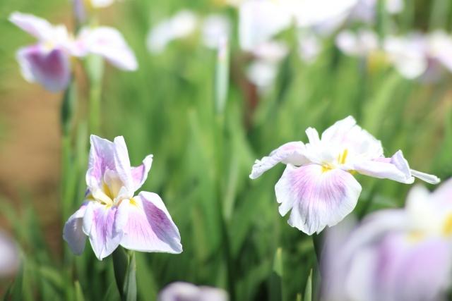 北潟湖畔花菖蒲まつりの2021年見頃や開花状況は?アクセスや駐車場は?