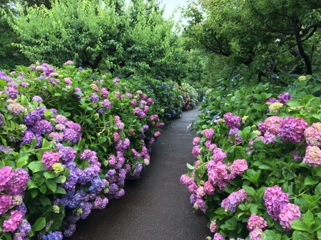 郷土の森の紫陽花