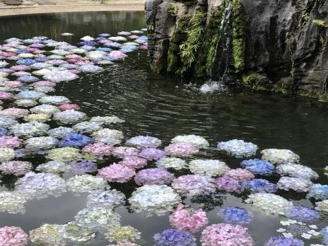 久安寺の紫陽花の2021年の見頃や開花状況は?あじさいうかべはいつまで?
