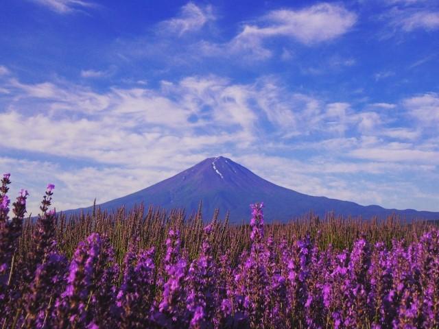 大石公園のラベンダーと富士山