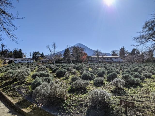 八木崎公園のラベンダー
