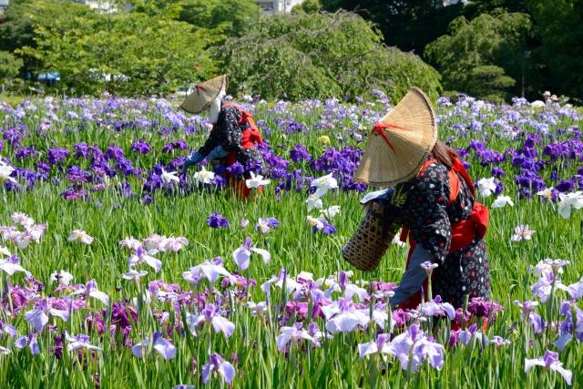 横須賀しょうぶ園の花菖蒲