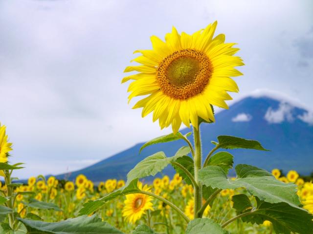 山中湖花の都公園のひまわり
