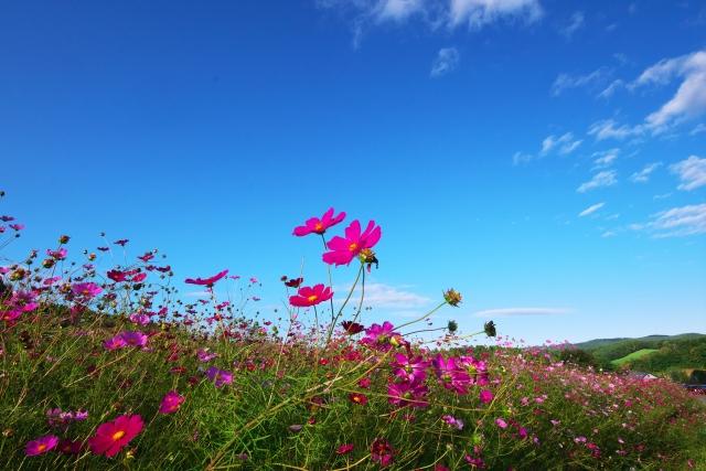 太陽の丘えんがる公園(遠軽)のコスモス畑