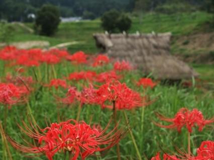 明日香村の彼岸花の2021年開花状況や見頃は?アクセスや駐車場は?