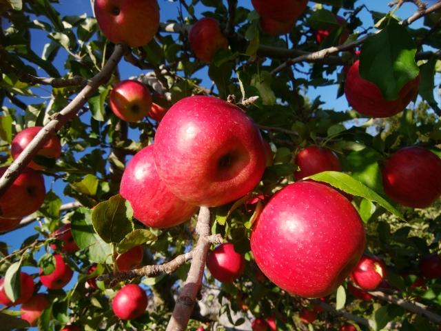群馬県沼田のりんご狩り