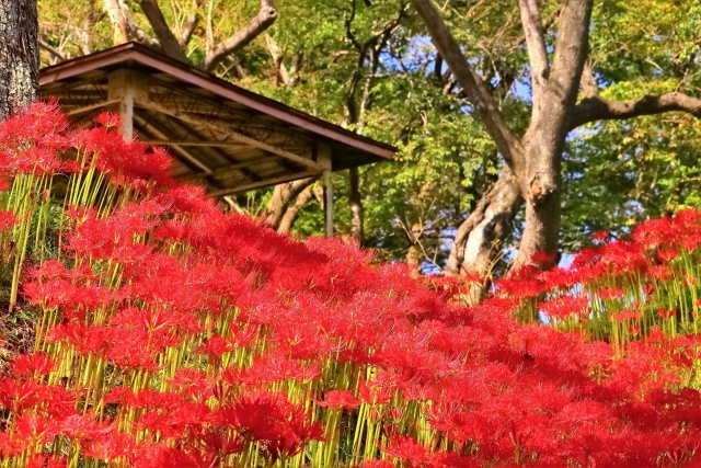 羽黒山公園の彼岸花の里まつり2021年開花状況や見頃は?アクセスや駐車場は?