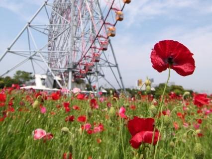 葛西臨海公園のコスモスの2021年見頃や開花状況や花摘みは?観覧車と圧巻のコラボ?