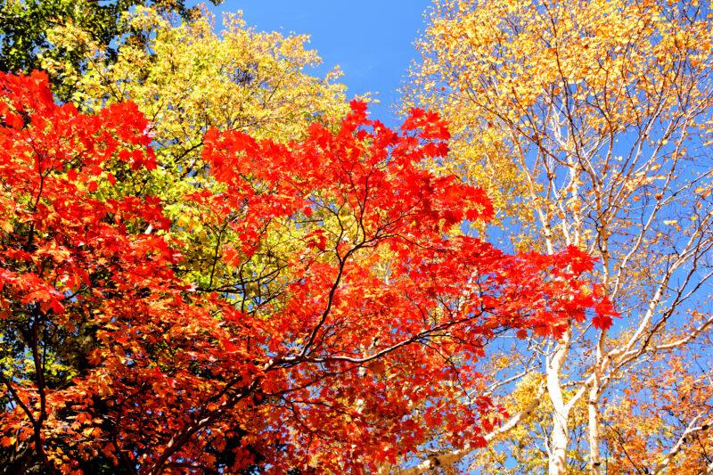 大雪山黒岳の紅葉