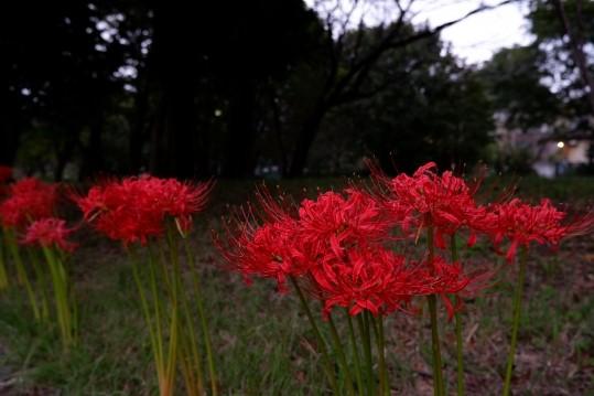 野川公園の彼岸花の2021年開花状況や見頃は?場所やアクセスや駐車場は?