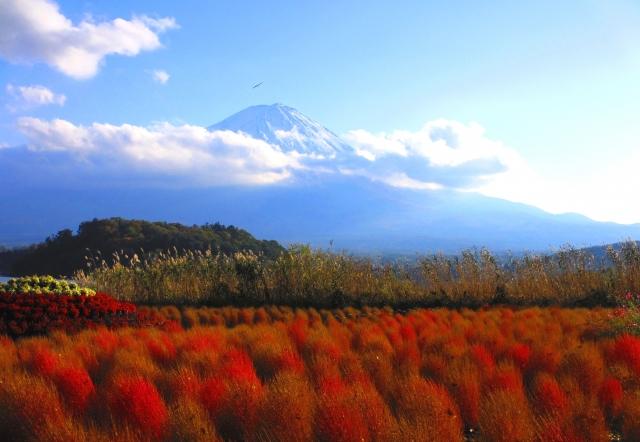 河口湖大石公園のコキアと富士山