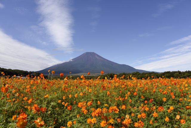 山中湖花の都公園のコスモス