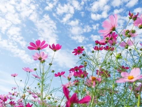 横須賀市くりはま花の国のコスモスの見頃や2021年開花状況は?アクセスや駐車場は?